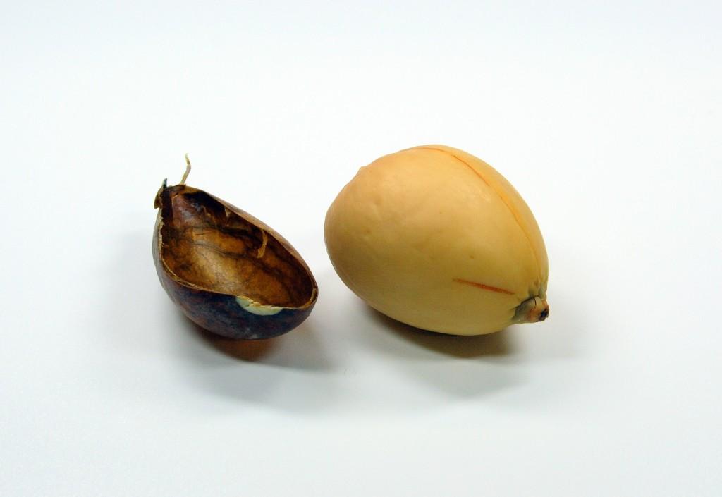 Avocadokern