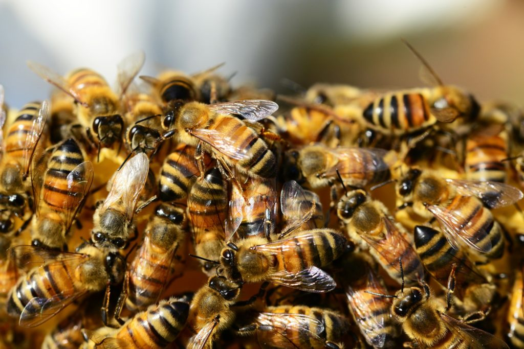 honey-bees-326334_1920